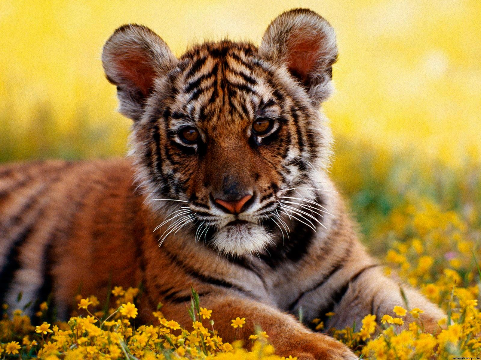 cachorro_de_tigre